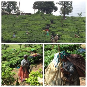 Tea field workers